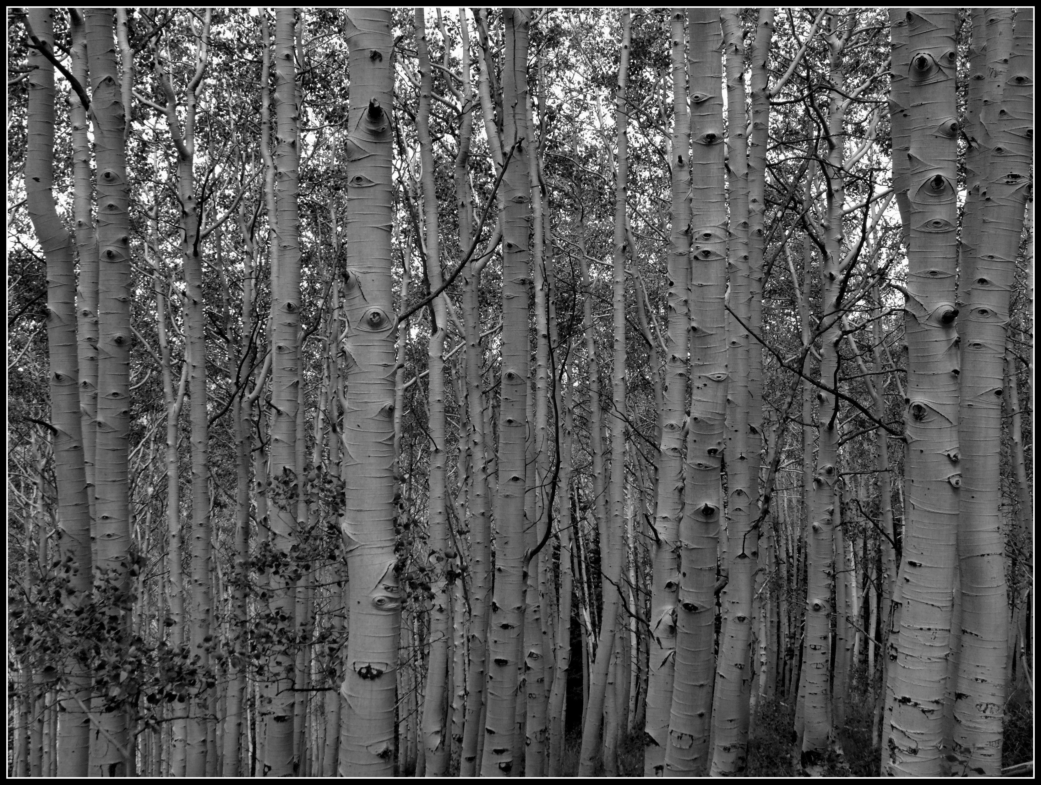 aspen-trunks-bw.jpg